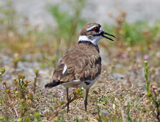 Wallace Drive Killdeer