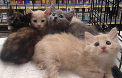 Good Luck, Precious Babies (Philosopher Queen) Tags: kittens adorable precious adoption shelter fosterkittens fluffy percy peanut peppermintpatty pandora
