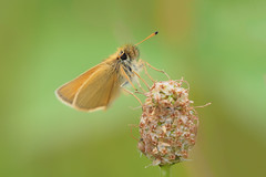 Tippy Toes..... (klythawk) Tags: butterfly insect nature summer wildlife dof green brown beige yellow black olympus omd em1mkll 40150mm 14xtc totonfieldsnaturereserve totonsidings toton nottingham klythawk essexskipper thymelicuslineola