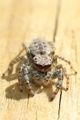 Marpissa muscosa (Haentjens Raphaël - Macropixels) Tags: salticidae saltique araignée sauteuse arachnid spider jumpingspider