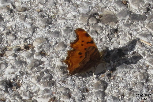 Southern comma (Vol)