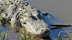 American Alligator (Suzanham) Tags: reptilian panasonicdmcfz200 alligatormississippiensis gator americanalligator macro reptile mississippi noxubeewildliferefuge southeast freshwater south southern deepsouth