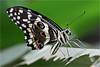 African citrus swallowtail (Foto Martien) Tags: africancitrusswallowtail christmasbutterfly orangedog limoenvlinder citroenvlinder zitrusschwalbenschwanz papiliodemodocus swallowtailbutterfly zwaluwstaart page ritterfalter schwalbenschwanz butterfly papillon mariposa schmetterling vlinder insect africa subsaharanafrica madagascar yemen oman southarabia tropical tropisch color colour polychrome coloured colorfull bont kleuren kleurig veelkleurig kleurrijk black white yellow bands redeyespots blueeyespots butterflygarden butterflyhouse vlindertuin vlinderhuis overdektevlindertuin passiflorahoeve zorgboerderij harskamp vlinderkas veluwe dutch netherlands nederland holland macro macrophoto minoltamacro100mm28mm sonyilca77m2 sonyalpha772 alpha a77m2 fotomartien martienuiterweerd
