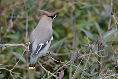 HNS_1000 Pestvogel : Jaseur boreal : Bombycilla garrulus : Seidenschwanz : Bohemian Waxwing