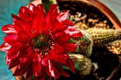 Peanut Cactus Blossom (JoelDeluxe) Tags: cacti peanut cactus red blossom day nm hdr joeldeluxe