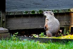 Hey! Hey, hey, hey, take it somewhere else buddy! (Michael Bateman) Tags: bateman michael photography squirrelschipmunksmarmotsprairiedogssciuridae wildlife woodchuckmarmotamonax kinnelon newjersey unitedstates us