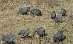 P1150909 Zimbabwe (26) (archaeologist_d) Tags: zimbabwe stanleylivingstonesafarilodge guineafowl africa southernafrica safari