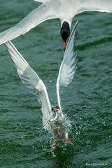 Thief (Earl Reinink) Tags: tern water fight fish fishing commontern natrue bird animal wingsinmotion earl reinink earlreinink niagara aaudrdidia