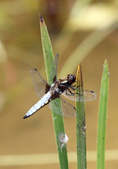 Broad-bodied Chaser (Libellula depressa) (RiverCrouchWalker) Tags: broadbodiedchaser libelluladepressa dragonfly insect invertebrate hanningfieldreservoir hanningfieldreservoirnaturereserve essexwildlifetrust downham essex july 2017 summer perching pond