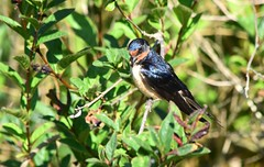 Barn Swallow (careth@2012) Tags: barnswallow bird nature wildlife perched britishcolumbia beak feathers wings branches