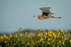 The Roving Reddish (Osprey-Ian) Tags: texas aransasnwr reddishegret