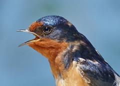 barn swallow (mikewiz) Tags: birds swallows barnswallow hirundorustica howe sound bc