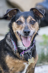 Lilo (Perfect Moment Images) Tags: lilo yorkshire terrier cross jack russell yorkie breed mongrel heinz 57