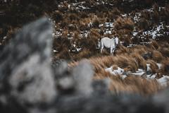 Avizorar (JavierAndrés) Tags: caballo horse blanco white pastura pastizal animal equino pasture equine mirada look nature naturaleza vista view teleobjetivo telephoto piedras rocks stones rocas nieve snow montañas mountains bokeh depthoffield profundidaddecampo dof pdc sierras range sierrasdecórdoba viaje viajar travel trip otoño autumn frío cold invierno winter estación season córdoba argentina paisaje landscape d800 nikon nikkor 200mm f56