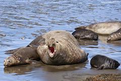 Elefante Marino 6 (pniselba) Tags: elefantemarino chubut argentina peninsula peninsulavaldes puertomadryn madryn sea ocean mar oceano elefante elephant elephantseal mirounga playa beach