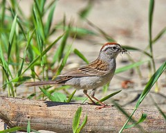 Chipping Sparrow (richmondbrian) Tags: chipping sparrow