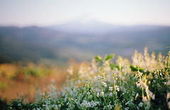 spring things, part five (manyfires) Tags: film analog flowers floralscape 35mm nikonf100 spring blossom bloom oregon pnw pacificnorthwest mthood hill sunset golden magichour hoodriver wildflowers valley mountain