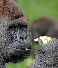 Bokito Blijdorp JN6A9033 (joankok) Tags: gorilla bokito blijdorp westelijkelaaglandgorilla westernlowlandgorilla laaglandgorilla lowlandgorilla aap ape monkey mensaap africa afrika zoogdier dier animal zilverrug silverback