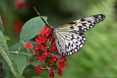 Butterfly (Bri_J) Tags: tropicalbutterflyhouse northanston sheffield southyorkshire uk butterflyhouse yorkshire nikon d7200 butterfly