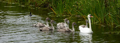 20170714 Wlk frm Clumber_0080 Swan~Six Cygnets~Clumber Lake (paul_slp5252) Tags: nottinghamshire clumberpark clumberlake swan cygnets