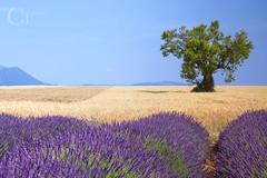 valensole (CT photographie) Tags: lavender valensole alpesdehauteprovence canon capture ctphotographie calme colors ciel nature manfrotto provence