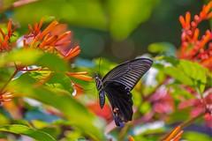 Papilio memnon heronus (Changer4Ever) Tags: nikon d7200 nikkor butterfly animal life nature color colorful bokeh dof depthoffield closeup macro outdoor season bright light wild wildlife