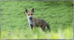 Fox Cub (jonathancoombes) Tags: fox cub pennington flash wildlife explore