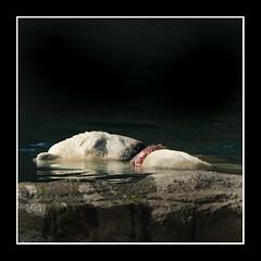 IJsbeer - Ursus maritinus (wimberlijn) Tags: ijsbeer ursusmaritimus beer natuur diergaardeblijdorprotterdam blijdorp polarbear bear zoorotterdam nature wildlife animal outdoor