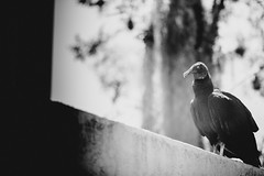 Patiently Waiting (JMJ Cinematics) Tags: canon vultures birds wildlife animals nationalgeographic birdsofprey nature animales natureza natgeo bird vulture scavenger blackandwhite monochrome monochromatic florida tampa tampabay jmjcinematics josemiranda 5dmarkiii