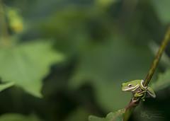 Green Treefrog (cre8foru2009) Tags: hylacinerea greentreefrog amphibian macro sigma herping nature green wildlife