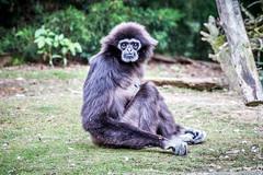 IMG_0411.jpg (wfvanvalkenburg) Tags: ouwehandsdierenpark monkey familie