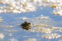 Kikker in een bokeh vijver (Thijs de Bruin) Tags: kikker frog bokeh frosch rana grenouille vijver pond étang stagno estanque dutch nederlands natuur nature wildlife