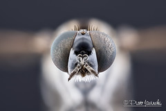 Fly (Karlgoro1) Tags: canon macro photo mpe 65mm f28 eye eyes zerene stacker insect focus stack closeup bug macrolife animal background fly sony alpha a6300 mirrorless digital camera ilce6300