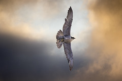 Dusky Falcon (The Original Happy Snapper) Tags: peregrinefalcon peregrine falcon bird birdofprey feathers dusk clouds flight wings nature uk captive