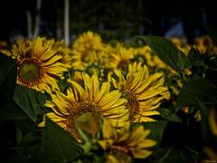 Here comes the sun (Luicabe) Tags: airelibre botaìnica cabello enazamorado flor girasol heliantusannuus hoja luicabe luis naturaleza paisaje peìtalo planta yarat1 zamora zoom ngc botánica pétalo