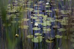 Water lillies, Loch Finlaggan, Islay (markmortonsmith) Tags: waterlillies foregroundblur stillness islay