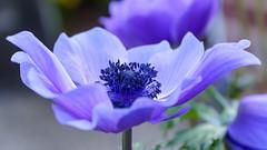 Anemone (PMillera4) Tags: anemone flower