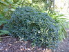 Pittosporum tobira 'Miss Muffett' (tanetahi) Tags: pittosporum shrub japanese pittosporumtobira dwarf missmuffett oxleynursery brisbane