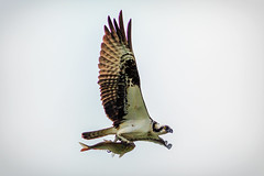 osprey flight with fish (david_sharo) Tags: nature wildlife osprey flight moraine pennsylvania