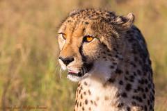 Cheetah-0248 (Acinonyx jubatus) (dennis.zaebst) Tags: africa namibia etosha cheetah cat animal wild outdoor reserve naturethroughthelens sunrays5