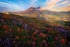 Visual Glory Of All Wildflowers On Mt St Helens (kevin mcneal) Tags: unitedstates washingtonstate pacificnorthwestregion skamaniacounty cascaderange pacificringoffire lavarock norwaypass bestplacesinwashingtontoseewildflowers touristdestinationsofwashington mtsthelens sainthelens washington wildflowers springwildflowers spring seasons mountsainthelens volcano 1980eruption kevinmcneal kevinmcnealphotography kevinmcnealphotographyphotographytours nikond810 nikon singhrayfilters toutle