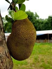 Portrait Jackfruit snapped by Smartphone camera! (samirhossain) Tags: fruit jackfruit fruitphotography smartphonephotography nature freetoedit