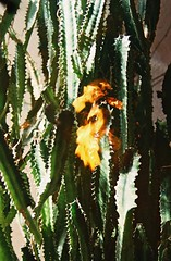 Mornings in Rio Rancho (Albuquerque, Jan 2017) (SofíaHiggins) Tags: new mexico southwest rio rancho cactus cacti fire film 35mm analog
