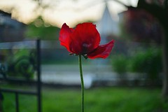 First Poppy (Tania A.) Tags: poppy bokeh 50mmlens red neighborsyard sunsetting