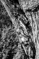 Oak Lines