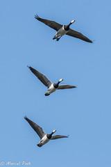 Three Canadian Geese flying (CapMarcel) Tags: three canadian geese flying canadese ganzen trio vliegend groene jonker