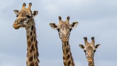 unbenannt-2750 (ovg2012) Tags: kenyake masaigiraffe nairobi nairobinationalpark