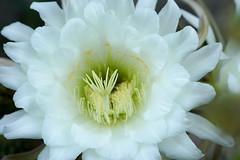 white cactus 2 (MattFidelibus) Tags: cactus white stamens stigma petals sepals botanical fresh flowers flower macro succulent succulents gardening cereus