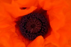 Intense (fxdx, mostly off for Holiday :-)) Tags: intense poppy garden macro close red