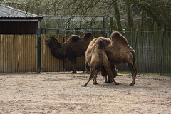 Chester Zoo (209) (rs1979) Tags: chesterzoo zoo chester asiansteppe bactriancamel